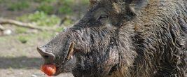Wildschweine sind Allesfresser. Foto:Michael Ochsenkühn / pixelio.d
