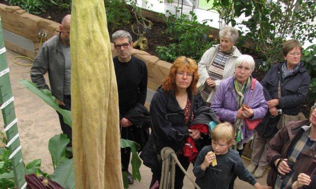 Titanenwurz im Botanischen Garten: Die größte Blume der Welt kurz vor der Blüte