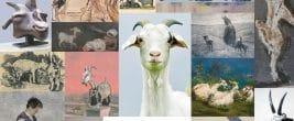 Ziegen in allen Formen und Farben gibt es in einer Ausstellung bei Mutter Fourage zu sehen. Foto: Veranstalter
