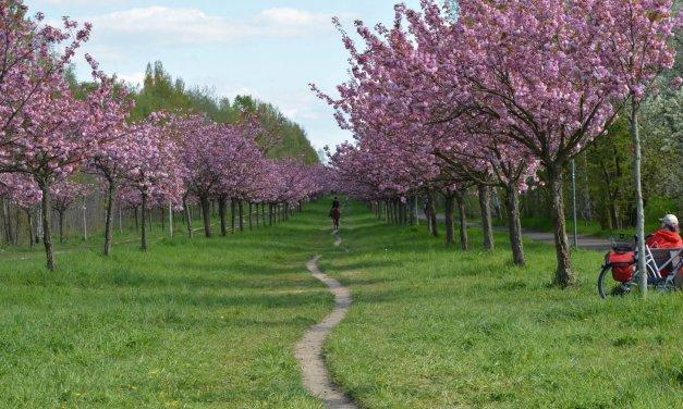 Japanisches Kirschblütenfest auf dem ehemaligen Todesstreifen
