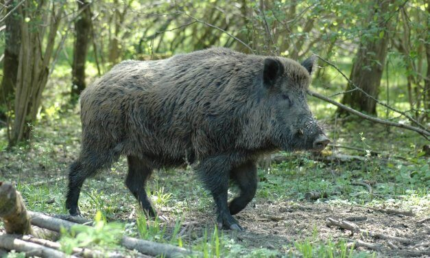 Nikolassee: Zweiradfahrer beim Zusammenstoß mit Wildschweinen schwer verletzt