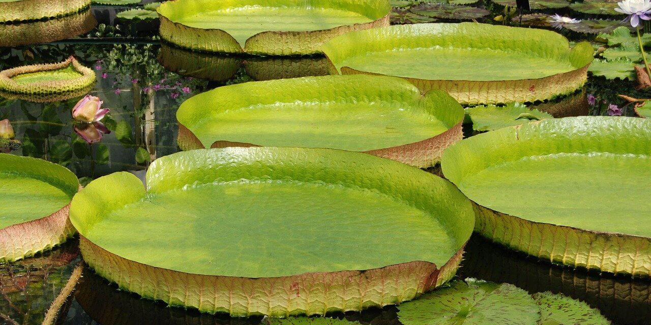 Botanischer Garten bekommt Riesenseerose zurück – Wiederbepflanzung des Victoriahauses gestartet
